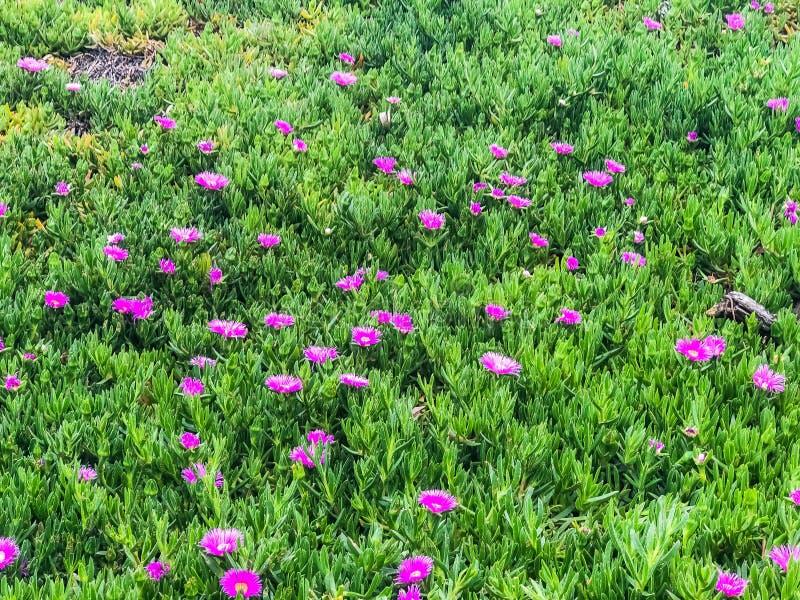 Campo verde e rosa in pieno dei fiori fotografia stock