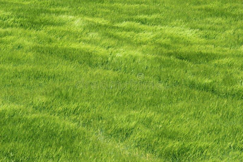 Campo verde fresco de la cebada de la montaña imagen de archivo