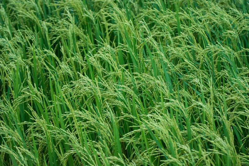 Campo verde Kanchanaburi Tailandia del arroz imagen de archivo libre de regalías