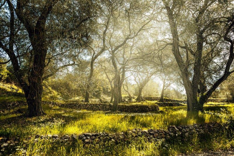 Campo verde-oliva com oliveira velha foto de stock