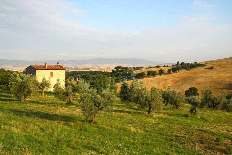 Campo verde oliva in Italia fotografia stock