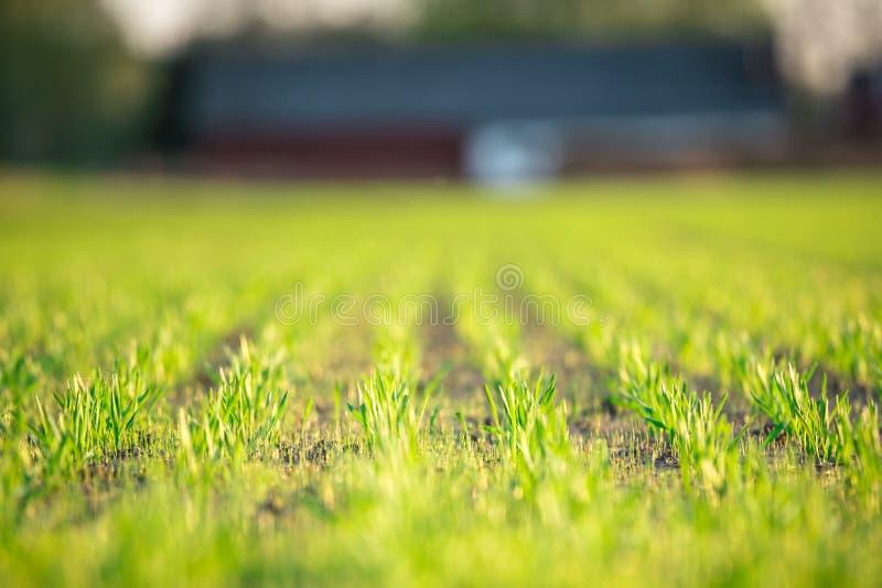 Campo verde por completo del trigo y del cielo azul foto de archivo