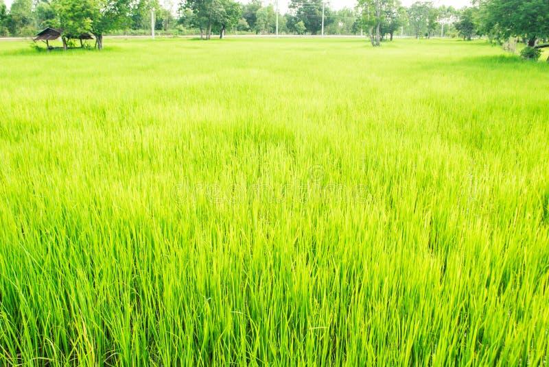Campo verde reconfortante do arroz com árvores e céu brilhante no backgroun fotos de stock