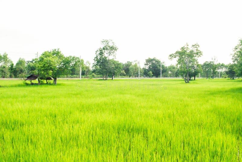Campo verde reconfortante do arroz com árvores e céu brilhante no backgroun foto de stock