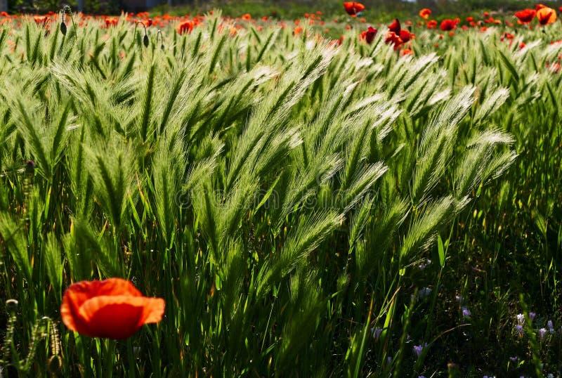 Campo vermelho bonito da papoila na primavera fotos de stock royalty free