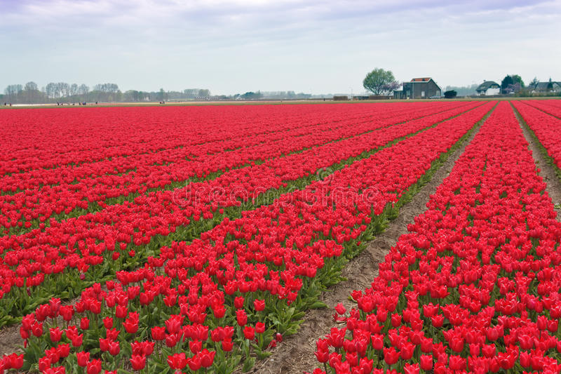 Campo vermelho branco espectacular do bulbo dos Tulips fotografia de stock