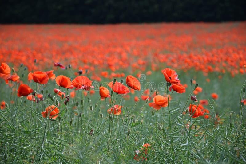 Campo vermelho da erva daninha fotografia de stock royalty free