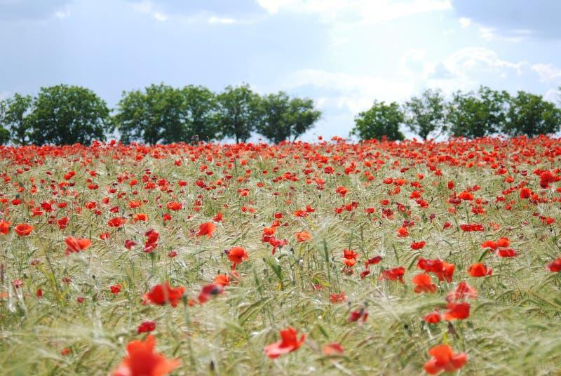 Campo vermelho das papoilas fotografia de stock