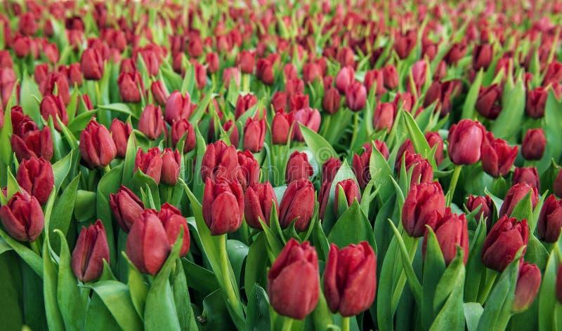 Campo vermelho das tulipas fotografia de stock
