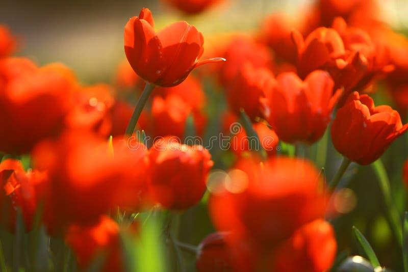Campo vermelho dos toulips fotografia de stock royalty free