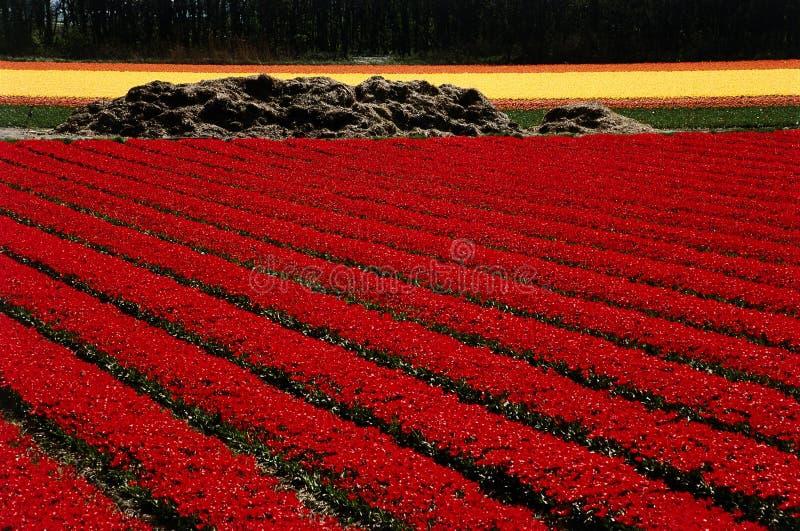 Campo vermelho dos tulips fotos de stock royalty free
