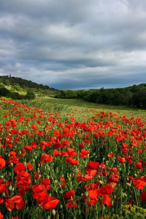 Campo vibrante de amapolas rojas y de flores amarillas fotografía de archivo libre de regalías
