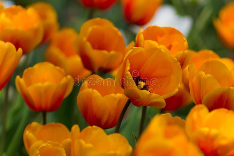 Campo vibrante increíble de tulipanes anaranjados brillantes imagen de archivo libre de regalías