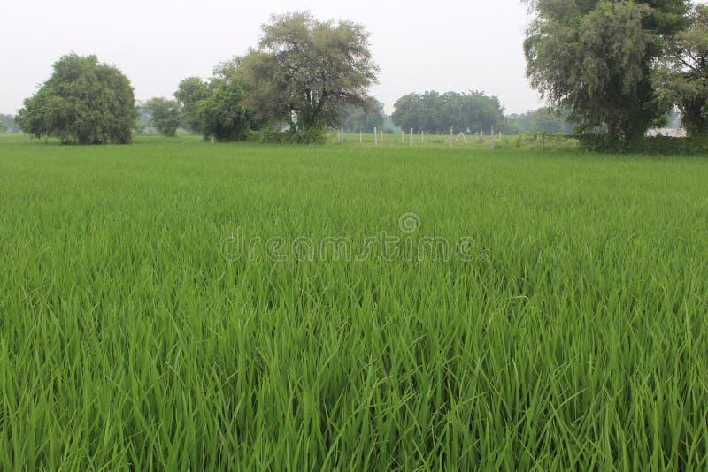 Campo vivo del arroz fotografía de archivo libre de regalías