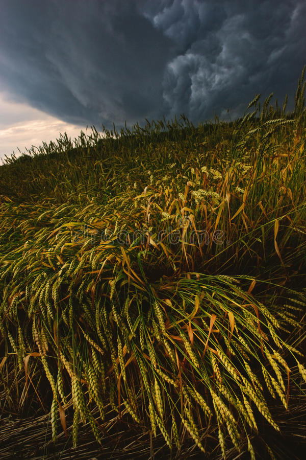 Campo Wheaten fotografie stock