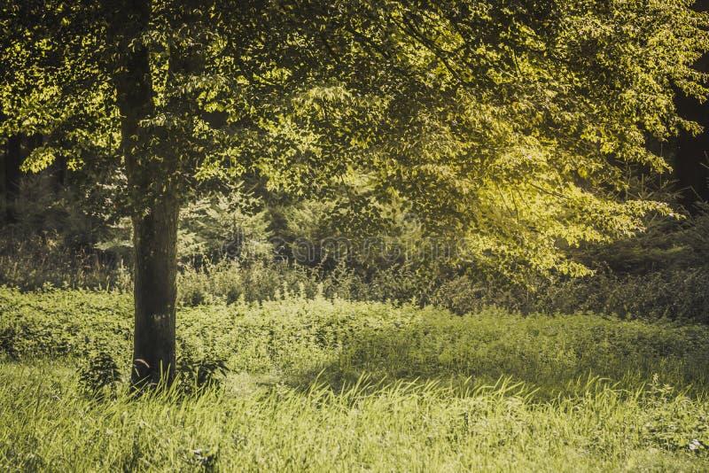 Campo y árbol de hierba del verano en la luz del sol, concepto de oro del fondo de la naturaleza foto de archivo