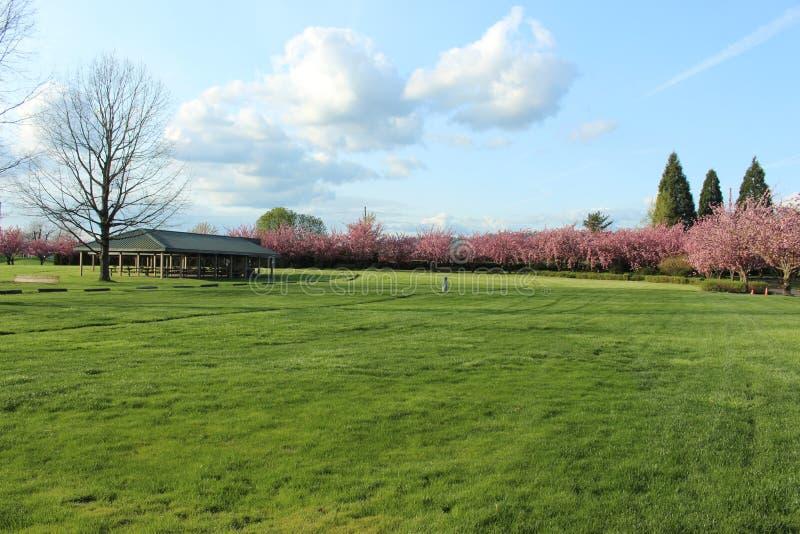 Árbol desnudo y árboles del campo verde por completo de flores rosadas imagen de archivo