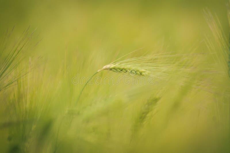 Campo y d?a soleado verdes de trigo fotografía de archivo libre de regalías