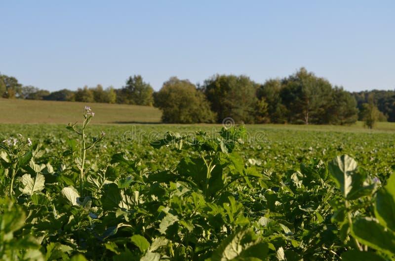 Campo y prado verdes debajo del cielo azul que crece en la naturaleza, el bosque, los árboles y la agricultura en otoño imágenes de archivo libres de regalías