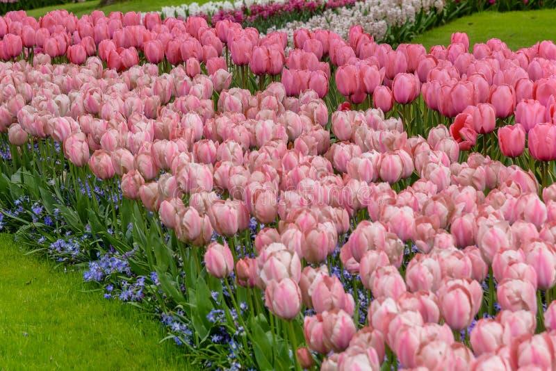 Campos accesibles numerosos en la floración en los jardines holandeses de Keukenhof de la primavera fotos de archivo