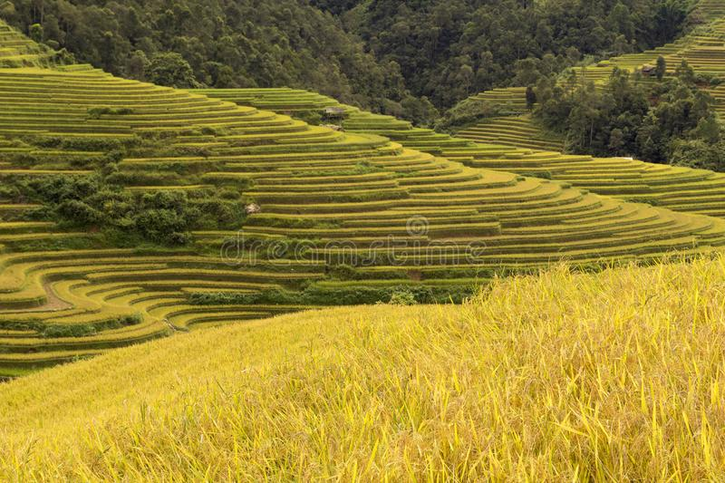 Campos amarelos do arroz em campos terraced nas montanhas altas do norte, Vietname fotografia de stock royalty free