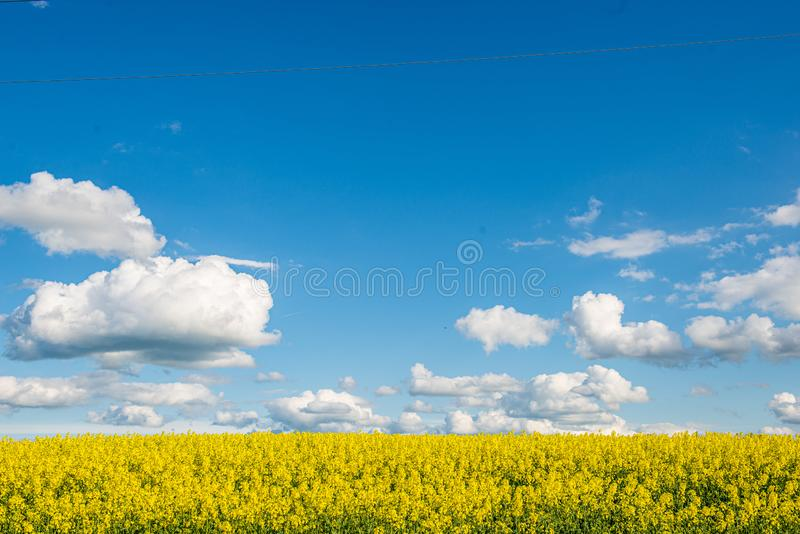 campos amarelos do bloominf da colza na mola sob o c?u azul na luz do sol foto de stock royalty free
