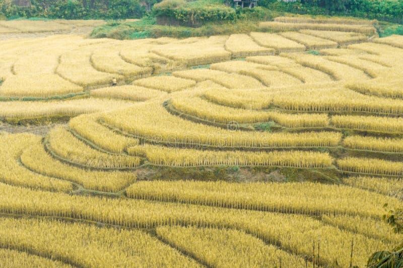 Campos amarelos dourados bonitos do arroz imagem de stock royalty free