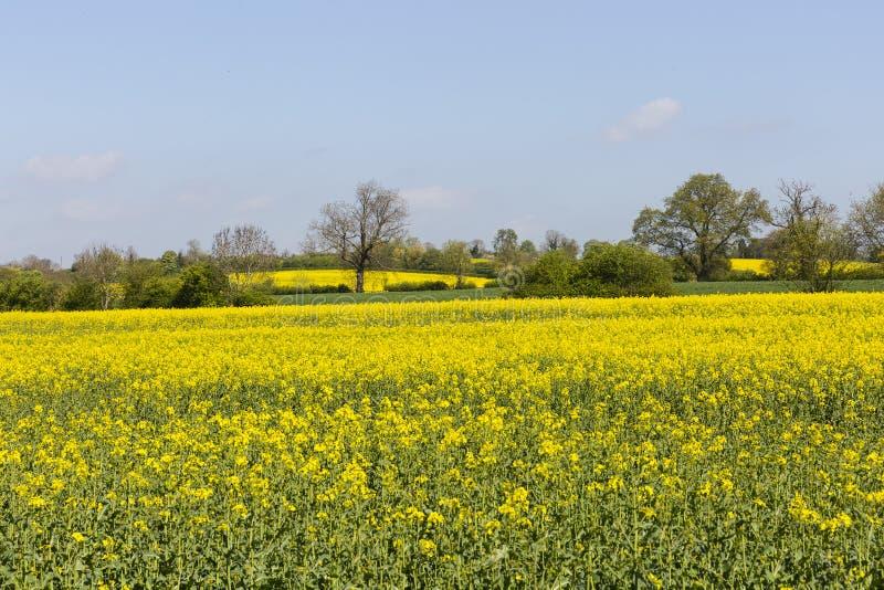 Campos amarelos e algumas árvores fotografia de stock royalty free