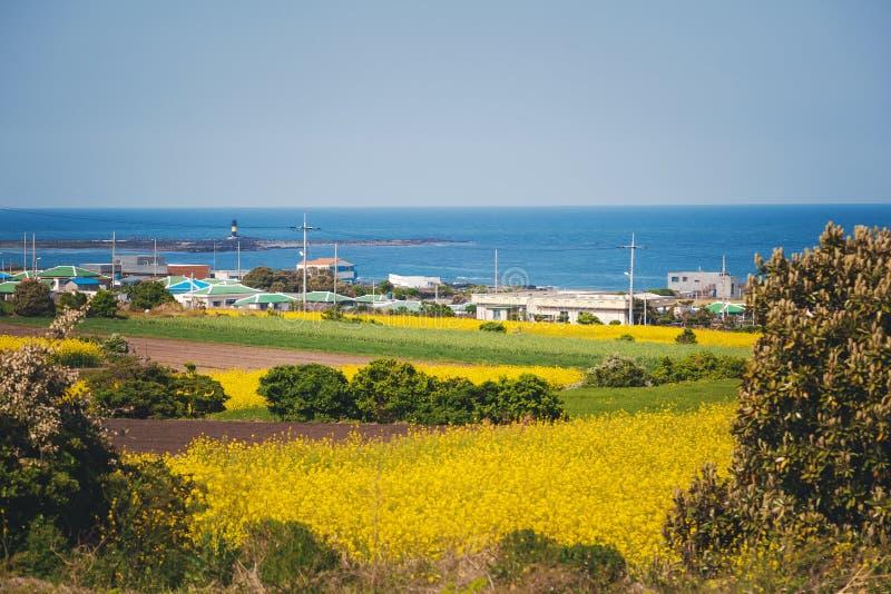 Campos amarillos de la rabina en el fondo del mar azul Udo Island y Jeju, Corea del Sur fotos de archivo