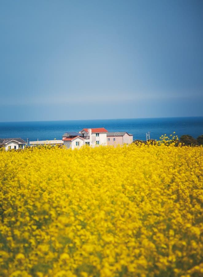 Campos amarillos de la rabina en el fondo del mar azul Udo Island y Jeju, Corea del Sur imagenes de archivo