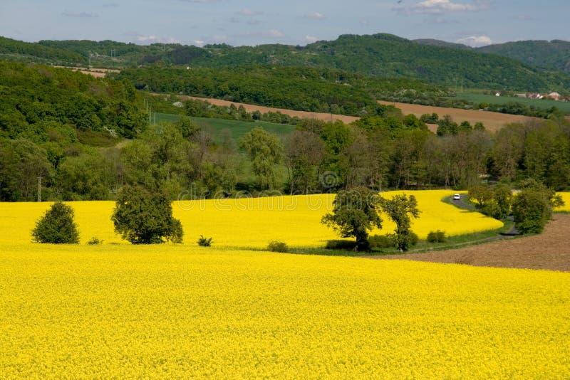 Campos amarillos de la violación foto de archivo libre de regalías