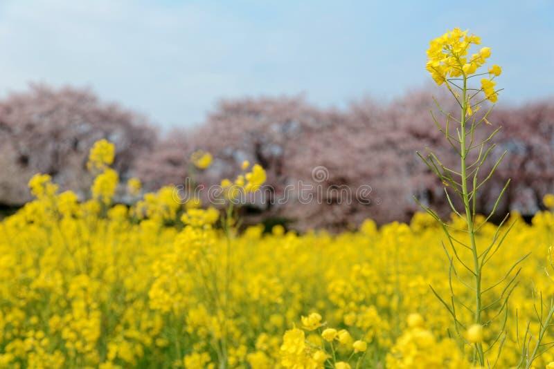 Campos amarillos y árboles rosados Sakura de la rabina de la flor del Canola de la flor de cerezo en fondo debajo del cielo solea imagenes de archivo