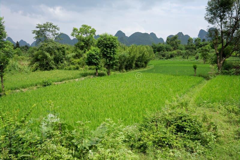 Campos chineses do arroz imagens de stock royalty free