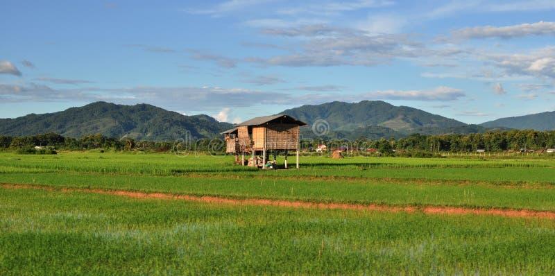 Campos colgantes del arroz. fotografía de archivo libre de regalías