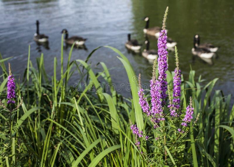 Campos comunes de Clapham, Londres - la charca/los patos y las flores rosadas foto de archivo libre de regalías