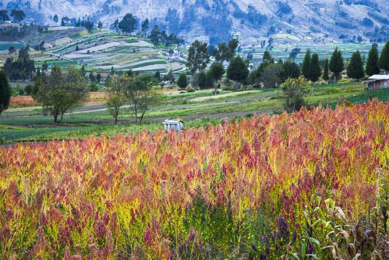 Campos cultivados quinoa imágenes de archivo libres de regalías