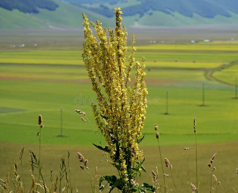 Campos cultivados y floridos de Castelluccio di Norcia foto de archivo