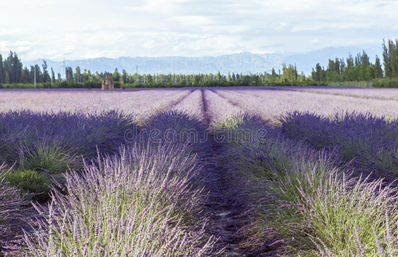 Campos da alfazema de Xinjiang, China foto de stock