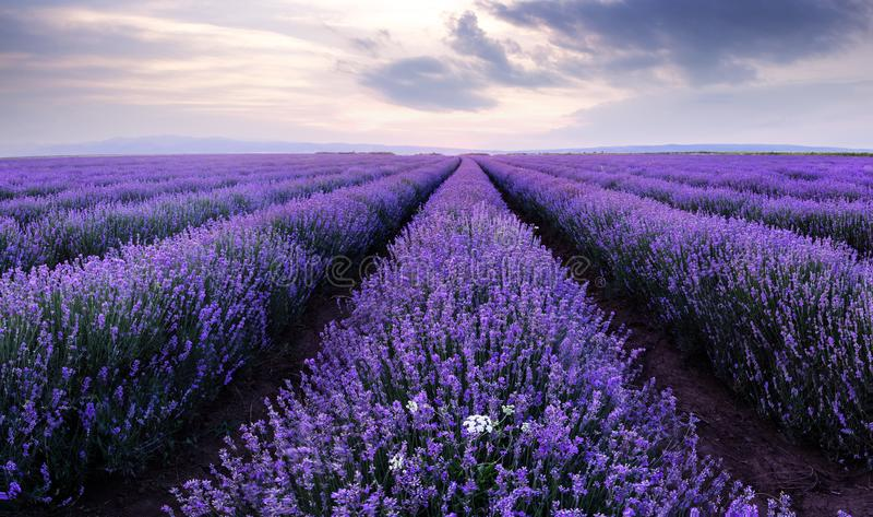 Campos da alfazema Imagem bonita do campo da alfazema fotografia de stock