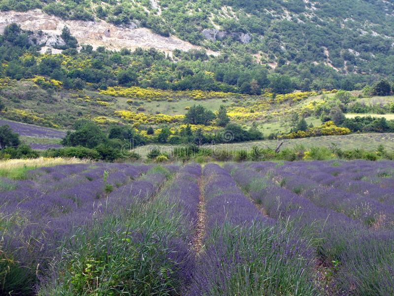 Campos da alfazema para óleos essenciais imagens de stock royalty free