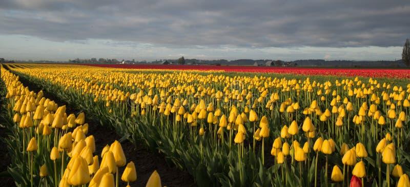 Campos da tulipa fotos de stock