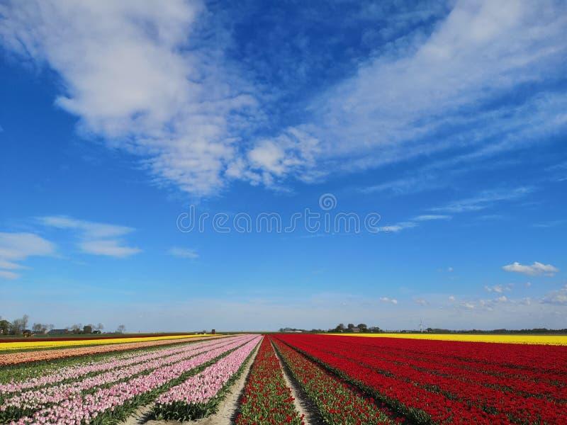 Campos da tulipa na Holanda do norte imagens de stock royalty free
