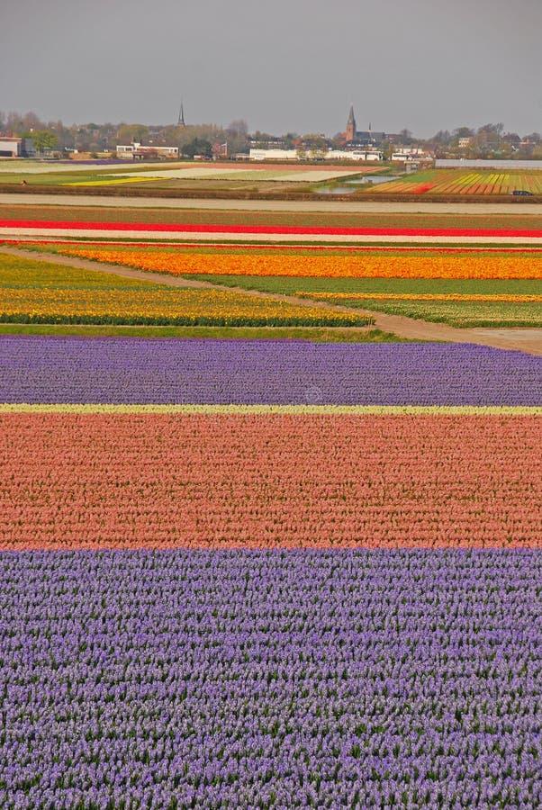 Campos das tulipas além de uma cidade foto de stock royalty free