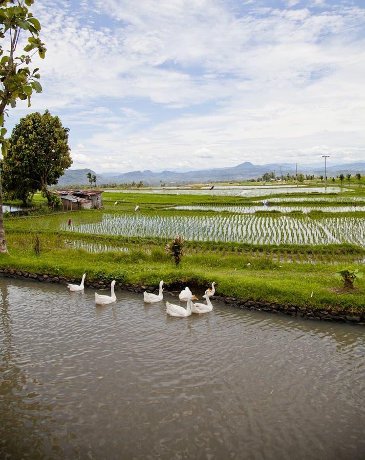 Campos de arroz foto de archivo libre de regalías