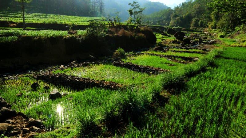 Campos de arroz con zanjas de roca imagen de archivo