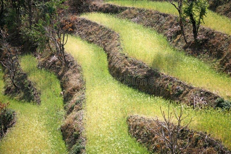 Campos de arroz de arroz en el himalayan imagenes de archivo