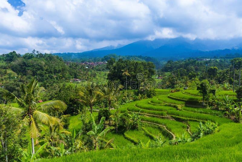 Campos de arroz - Ilha de Bali, Indonésia fotos de stock