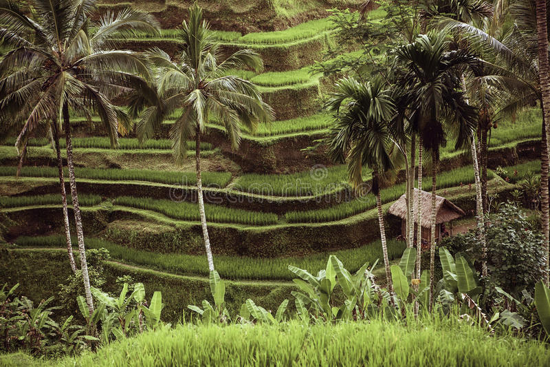 Campos De Arroz Verdes Hermosos De La Terraza En Bali Imagen