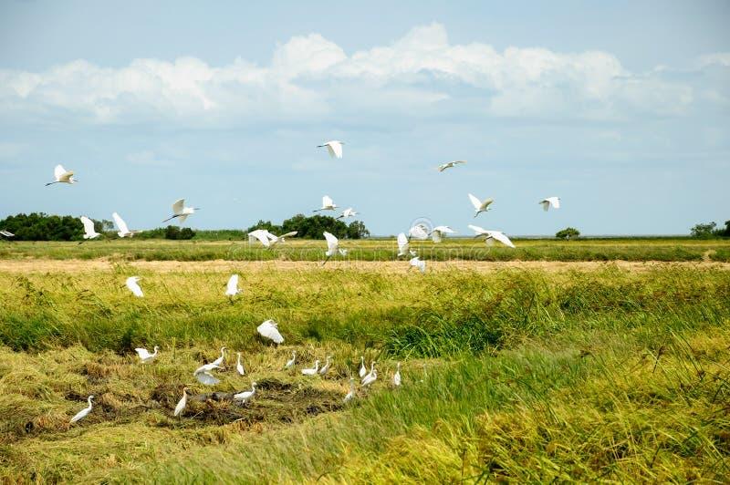 Campos de arroz y pájaros blancos fotografía de archivo libre de regalías