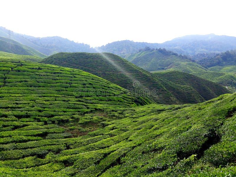 Campos de chá em Cameron Highlands fotos de stock